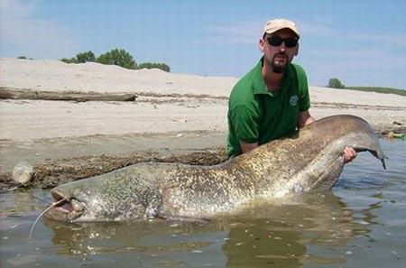 pesce siluro pescato nel Po3.jpg