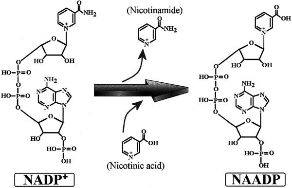 Struttura di Nicotinamide adenin dinucleotide o Nad4