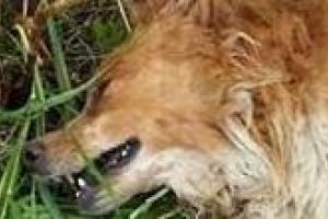 Baggio, uno dei cani vittima della mattanza