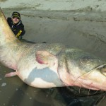 Il pesce siluro pescato nel Po