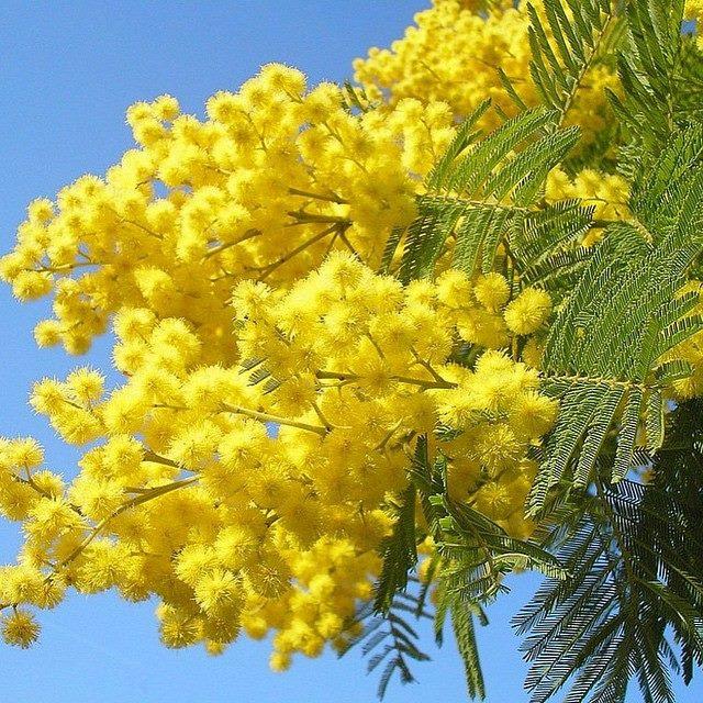 mimosa festa della donna