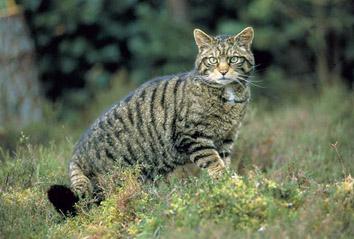 Gatti selvatici_1