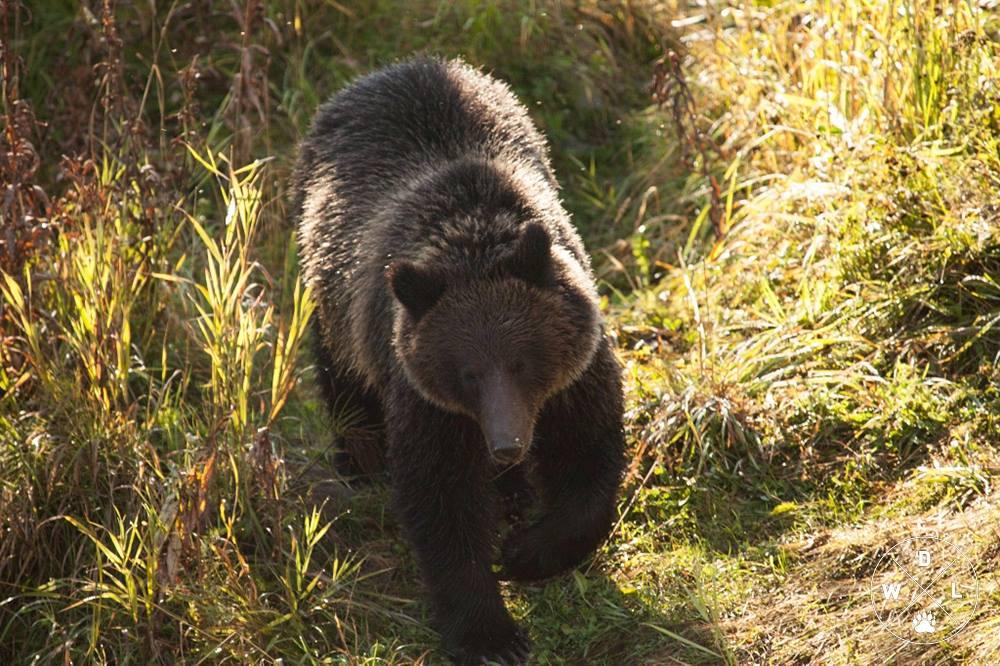 Grizzly ucciso dai cacciatori