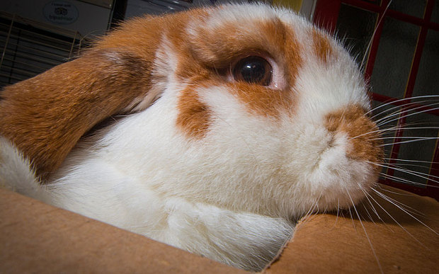 Jack, il coniglietto criminale