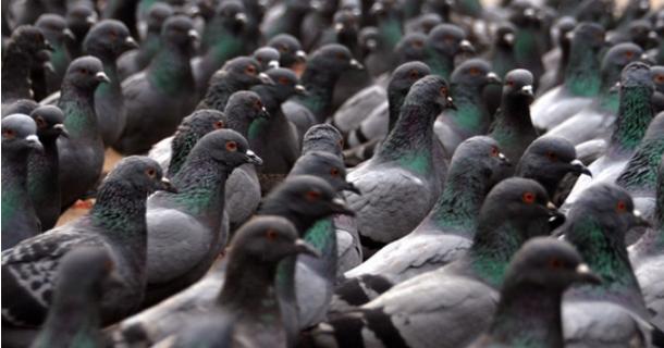 300 piccioni individuano coltivazione di marijuana