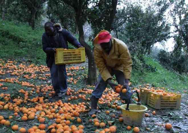 Braccianti sfruttati per raccolta agrumi