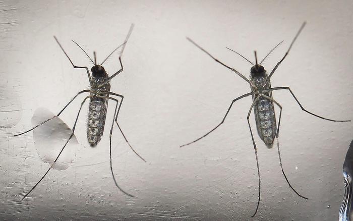 Zika, nuova zanzara contro virus