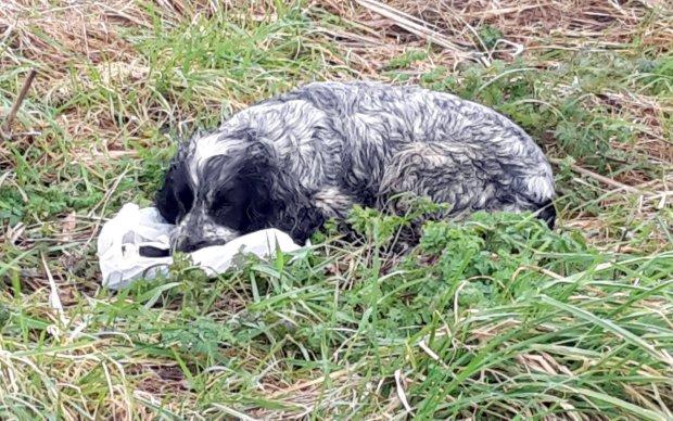 Cagnolina veglia sui cuccioli morti
