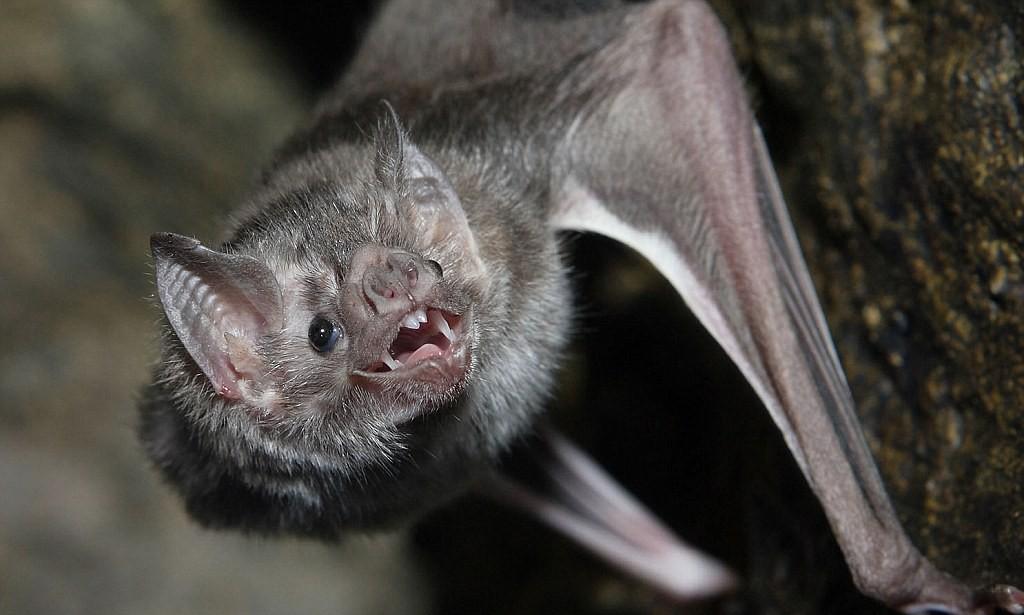 Pipistrelli vampiro causano epidemia di rabbia in Perù