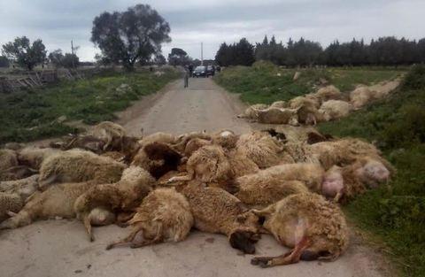 Strage di pecore a Lecce