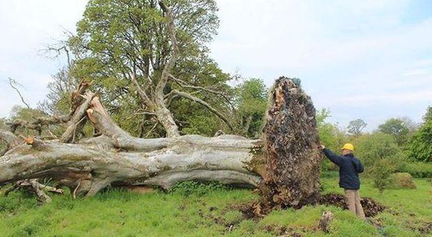 Sradicato albero di 215 anni: tra le radici c'è uno scheletro