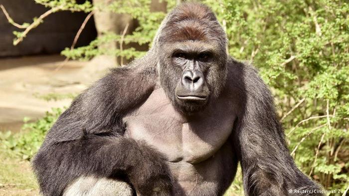Harambe, il gorilla ucciso