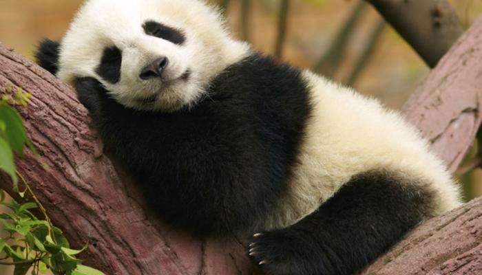 Panda Gigante salvato dall'estinzione
