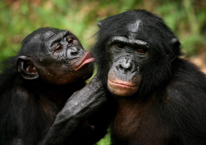 """Le femmine di bonobo """"comandano"""" i maschi del gruppo"""
