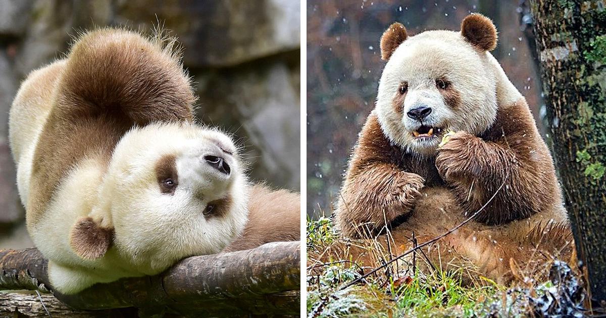Cina, panda dal pelo marrone viene bullizzato dai suoi simili
