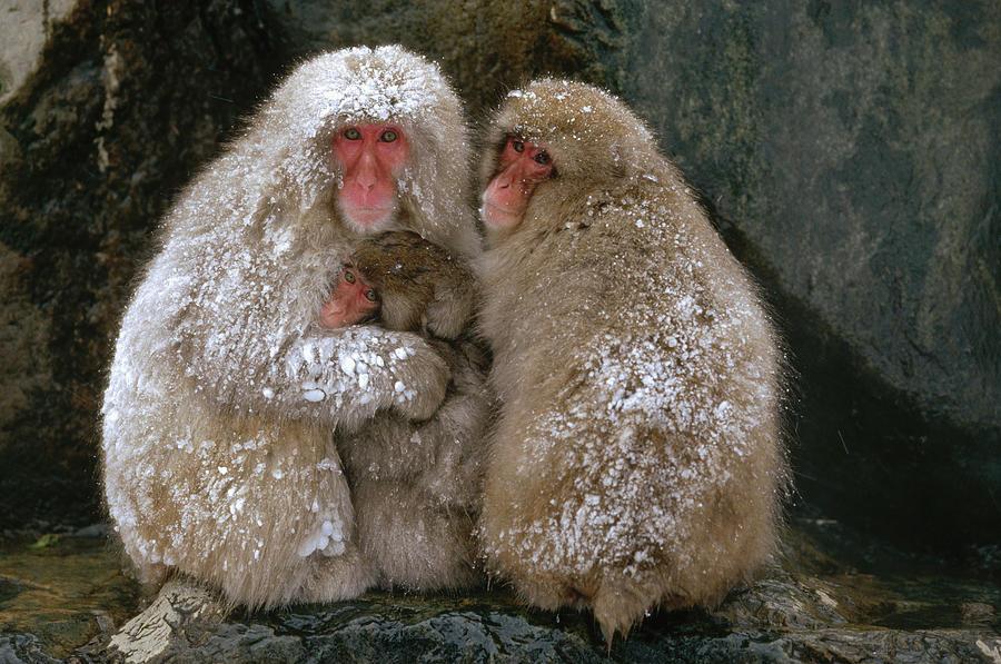 """Zoo giapponese abbatte 57 macachi delle nevi. """"Avevano DNA alieno"""""""