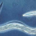 Longevità in Caenorabditis elegans