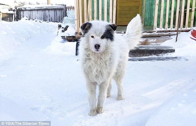 Husky in Siberia