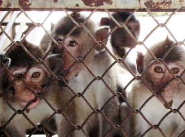 Scandalo test di Volkswagen sulle scimmie