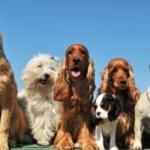 Scamboggio, sfilata cani