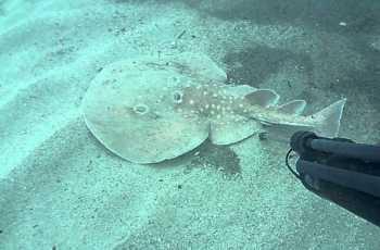 Il pesce torpedine usato nell'Antica Roma.
