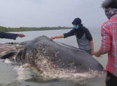 Indonesia: capodoglio trovato morto lungo la costa.