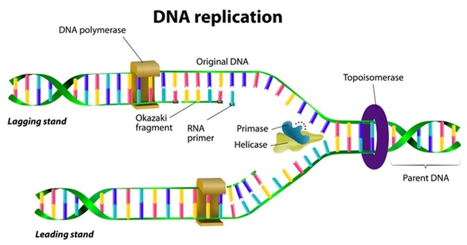 DNA-Replication