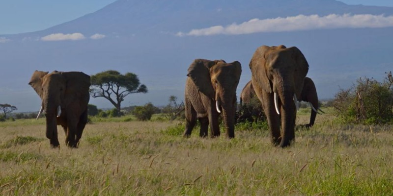 Bracconiere calpestato e ucciso da elefanti